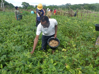An agriculture extension worker picks cowpeas from the dry season crop.