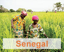 Two women harvest grain in a field in Senegal.