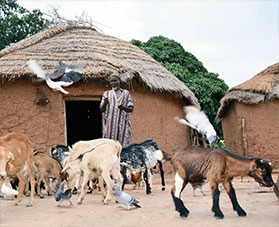 A man watches his goats wander by outside his home.