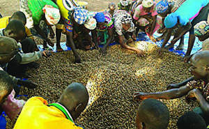 Photo of a group of men and women sorting through a harvest of nuts.