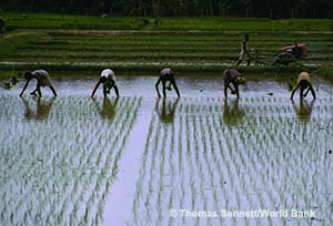 People harvesting rice © Thomas Sennett/World Bank