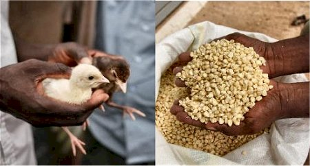 Photo on the left is a closeup of hands holding chicks, and on the right is a photo of hands holding maize.