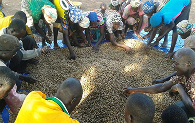 "Photo of farmers drying groundnuts. Caption: ""A farmer field school session on sorting and drying groundnuts on a tarpaulin in Yendi District, Northern Region."""