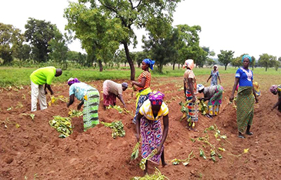 "Photo of female farmers being assisted by an AEA to plant OFSP Vines. Caption: ""An agriculture extension agent helps female farmers in plant OFSP vines."""