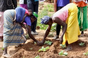 Photo of two women, one with a baby on her back, working on their sweet potato crop.