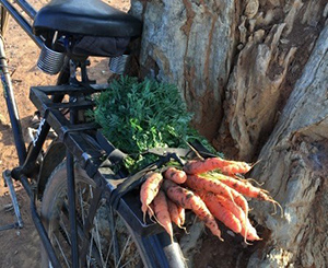 Photo of a bunch of carrots tied to the back of a bicycle.