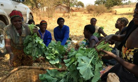 A group of female farmers show their freshly harvested rape, a leafy green Zambian vegetable, during a focus group discussion.