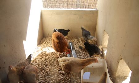 Chickens feed in their coop. Groundnut shells make for inexpensive, readily available ground material.
