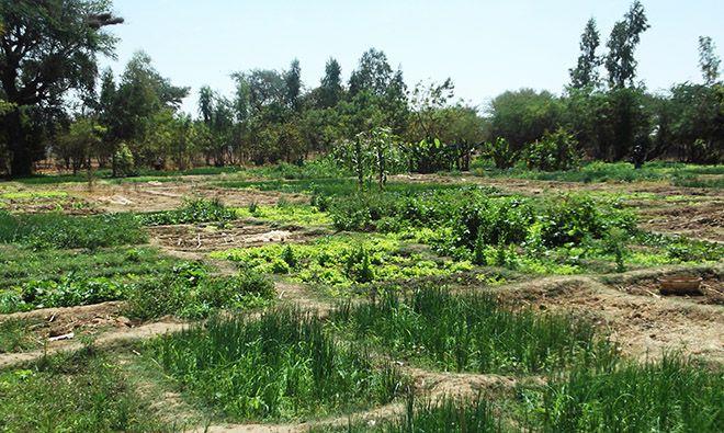 A farmer's field in Mali