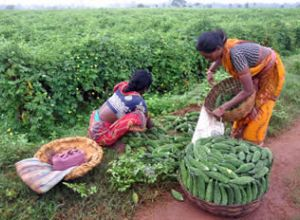 Women harvesting gourds