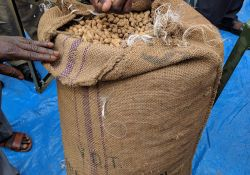Groundnuts ready for shelling in a universal nut sheller.