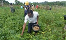 Harvesting cowpeas