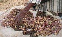 Master farmer drying bissap
