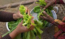Photo of hands handling greens.