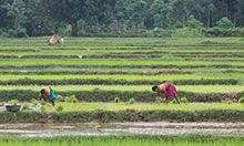 A long distance shot of a rice field. We can see three people tending the field.