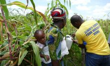 A tippy tap being used in a maize field in Ghana.