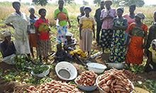 OFSP_MTMSG members in Tatale District display their Orange Fleshed Sweet Potato (OFSP) yields