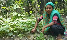 Farmer nutrition school member Nilufa tends to her orange-fleshed sweet potato crop.