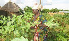 A woman picks okra in her field.