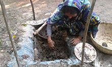 Sefali Begum prepares the vermicomposting bed for her successful homestead garden in Barisal, Bangladesh.