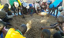 Farmers drying groundnuts pods on a tarpaulin – Yendi District