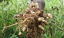 A farmer's hand holding a bunch of just-pulled groundnuts.