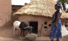 Photo of a woman standing in front of a thatched roof home, feeding livestock.