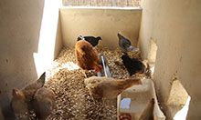 Chickens feeding in their coop.