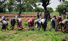 A group of farmers, all in a line, prepares a field for groundnuts.
