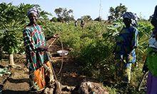 Three women tending their crops
