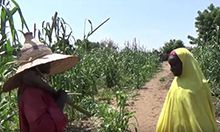 Photo of a man and a woman standing in a field of maize discussing something.