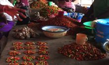 A group of people at a table sort through different chili peppers.